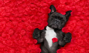 french bulldog dog lying in bed full of red rose flower petals as background in love on valentines day and sleeping